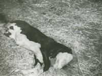 死産の子牛。頭部が奇形だと農場ではいう。(5月)